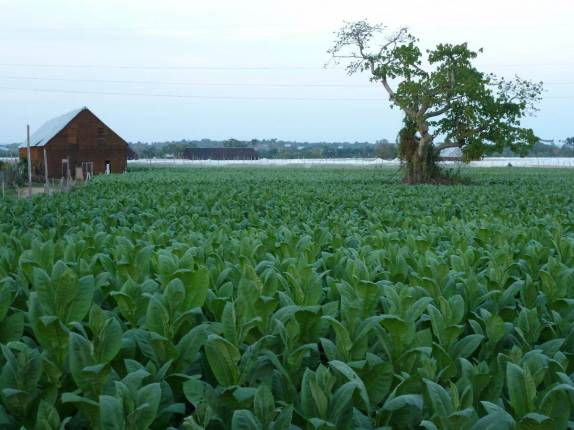 574-plantacao-de-tabaco-em-pinar-del-rio,-no-oeste-de-cuba-p1020749